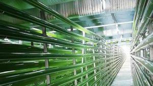 Premières récoltes de chlorelles pour LLDC Algae